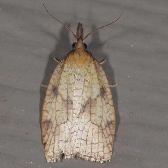 Mosaic Sparganothis - Sparganothis xanthoides