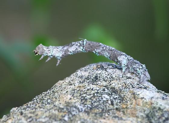 Unknown Caterpillar - Phaeoura quernaria