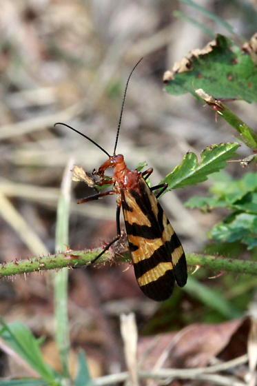 Scorpionfly - Panorpa nuptialis