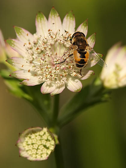 E. arbustorum or E. brousii??? - Eristalis arbustorum - male
