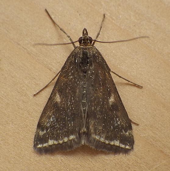Crambidae: Loxostege sticticalis - Loxostege munroealis