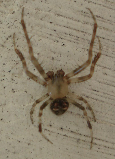 Brown and Tan Spider... - Araneus