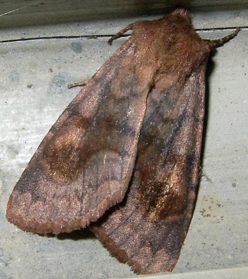 Bronzed Cutworm 3 - Nephelodes minians