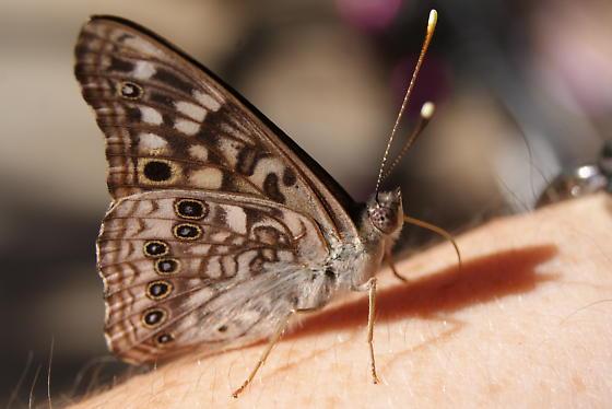 Hackberry Emperor? - Asterocampa celtis - male