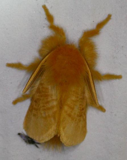 Megalopyge pyxidifera