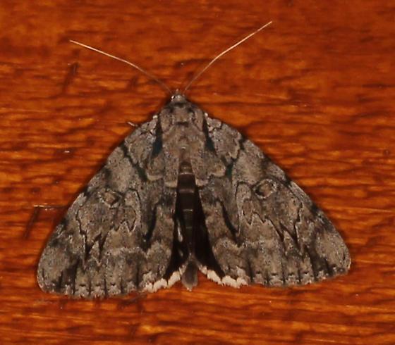 Catocola robinsonii - Catocala retecta-luctuosa