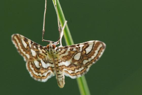 small unknown moth - Elophila ekthlipsis