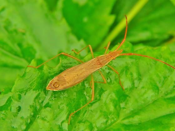 Id help needed - bug - Protenor belfragei