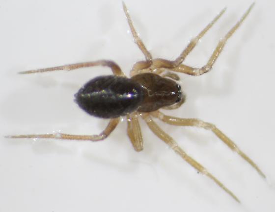 Scotinotylus pallidus--voucher image - Scotinotylus pallidus - female