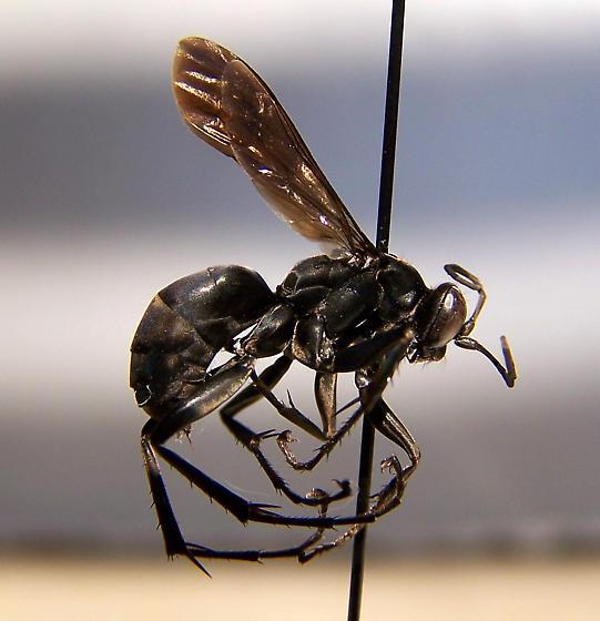 Anoplius illinoensis - female