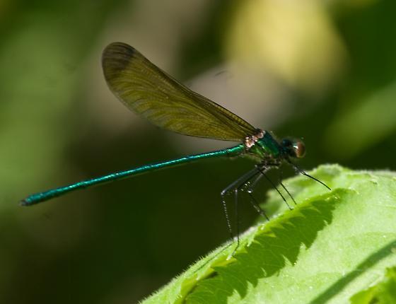 Sparkling Jewelwing - Calopteryx dimidiata - male