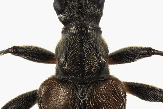 Flower Longhorn - Acmaeops proteus