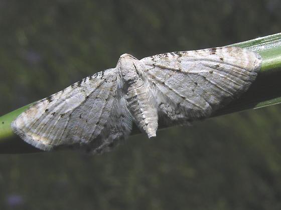 Eupithecia - Eupithecia cretaceata - female