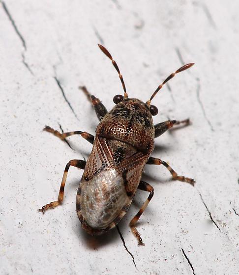 Big-Eyed Bug - Phlegyas abbreviatus