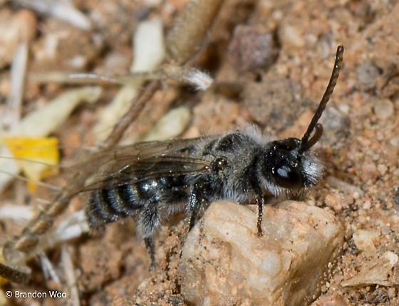 Dufourea pulchricornis