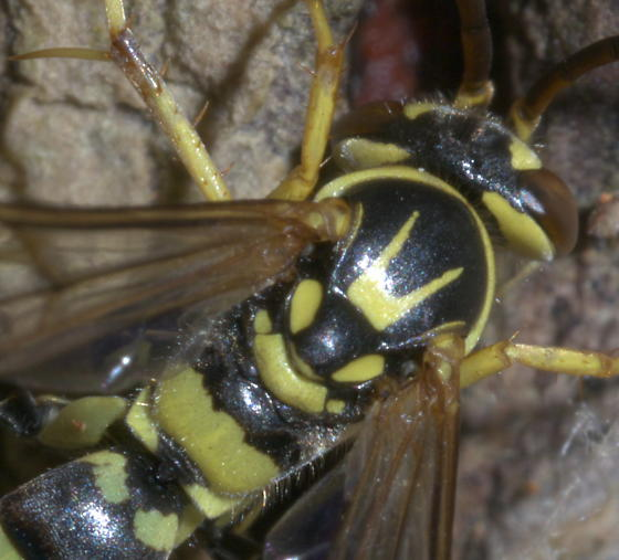 Black and yellow wasp, brown eyes, spiny legs - Poecilopompilus interruptus - male