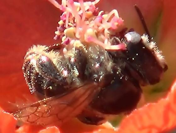 Small Chimney Bee - Globe Mallow Bee - Diadasia diminuta - male