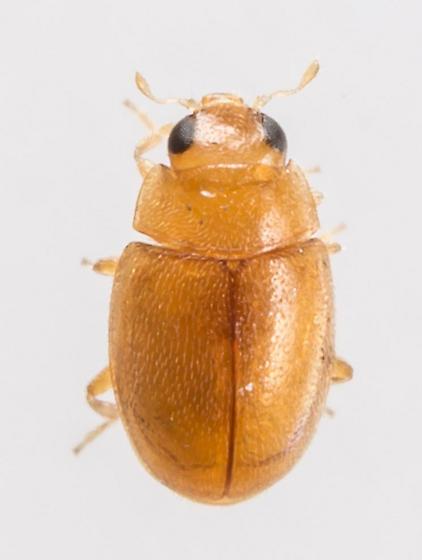 Beetle - Diomus debilis - male
