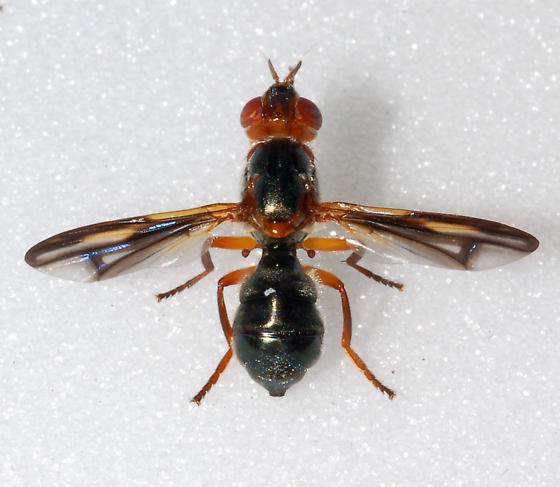 Pyrgotid Fly - Senopterina varia - female