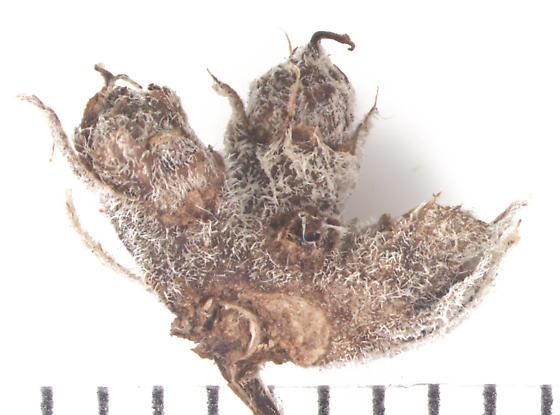 Cecidomyiinae, Mountain Mint flower galls