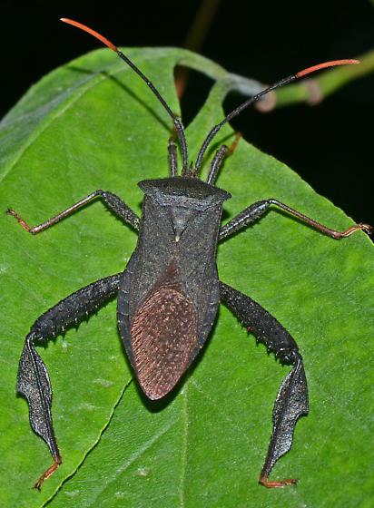 ? - Acanthocephala terminalis