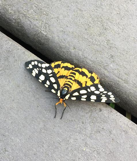 Butterfly or wasp? - Arctia virginalis