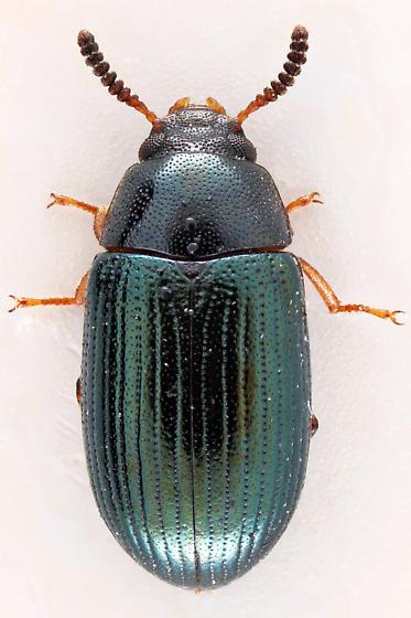 Darkling Beetle - Neomida bicornis - female