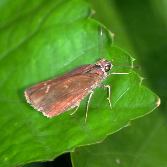 Skipper - Lerema accius