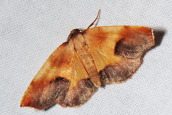 Possible?  6841-Plagodis kuetzingi - Plagodis kuetzingi - male
