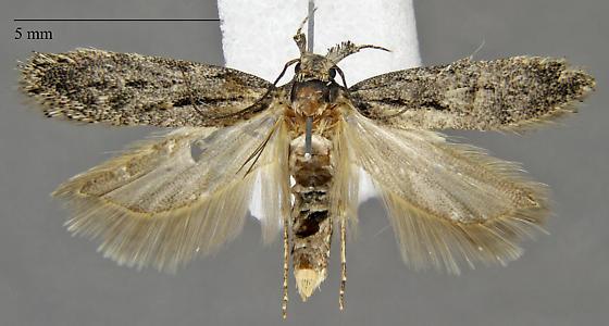 Gelechiinae - Chionodes trichostola?