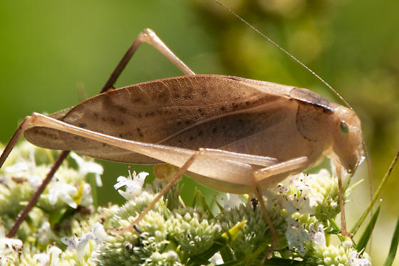 Amblycorypha carinata - Carinate Katydid? - Amblycorypha - female
