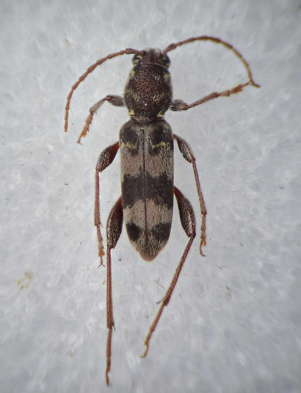Cerambycid - Xylotrechus colonus