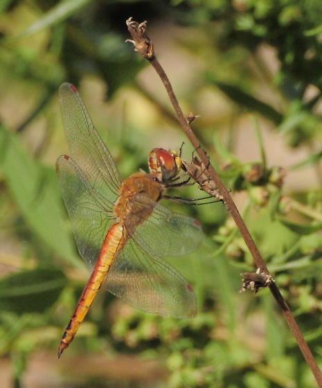 dragonfly ID please - Pantala flavescens