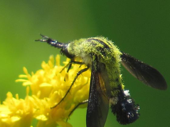 Some type of Moth?? - Lepidophora lutea