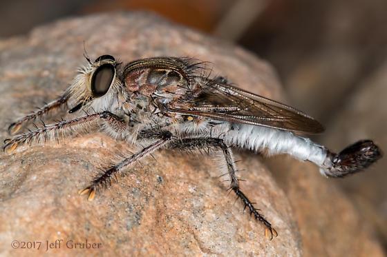 Asilid - Efferia triton - male