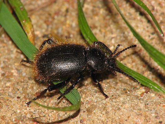 Darkling beetle #1 - Eleodes osculans