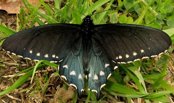Black butterfly - Battus philenor - male