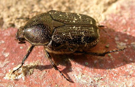 Dark flower scarab