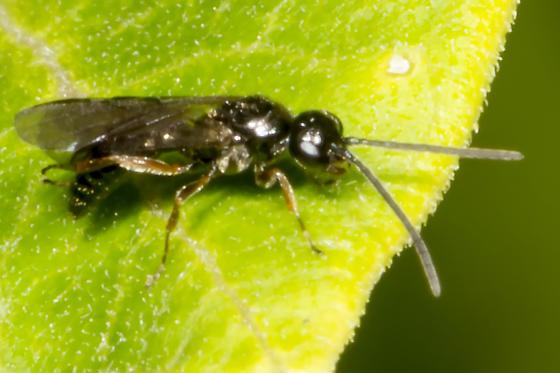 tiny winged creature on leaf - Sierolomorpha