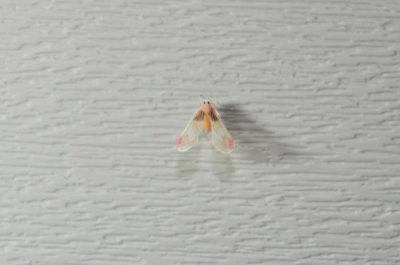 orange bug - Anotia uhleri
