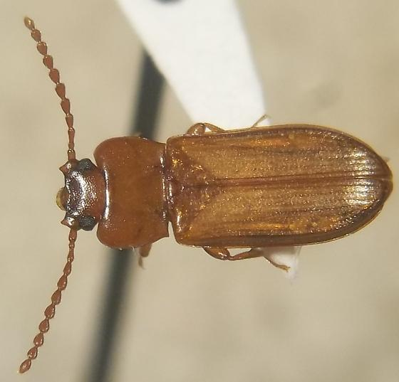 Flat bark beetle - Adelina