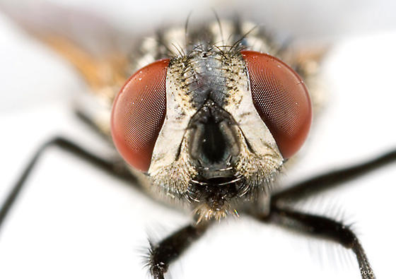 Face fly (Musca autumnalis) - Musca autumnalis