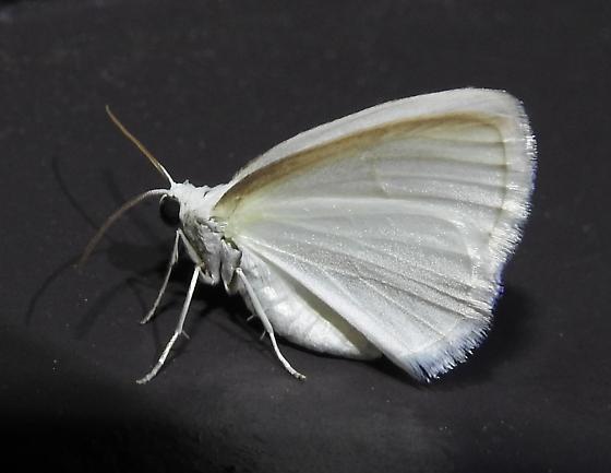 Lomographa vestaliata - White Spring Moth - Hodges#6667 - Lomographa vestaliata