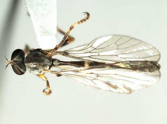 Asilidae: Leptogastrinae - Beameromyia