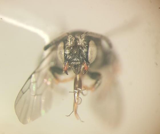 Apid bee