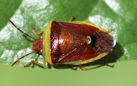Shield Bug - Banasa dimidiata