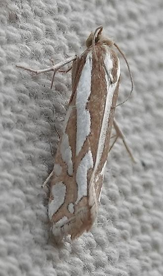 Striking small moth - Pelochrista