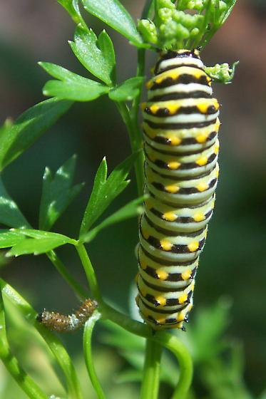 Black swallowtail larvae - Papilio polyxenes