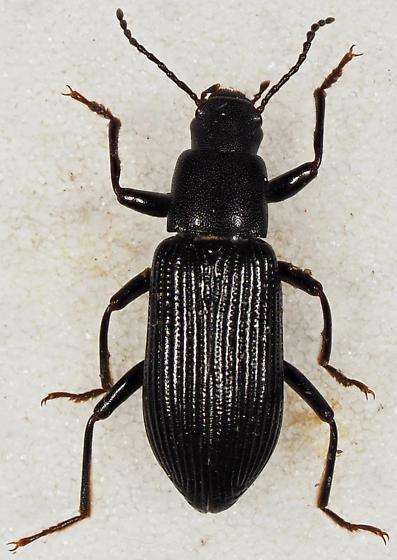 Tenebrionidae - Xylopinus saperdoides