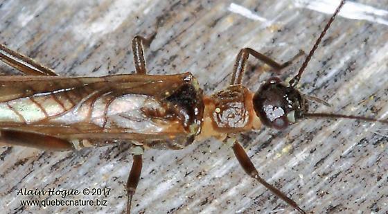 Taeniopteryx parvula ?